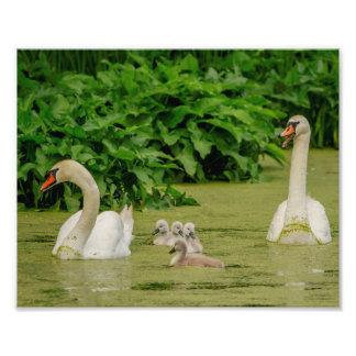 10x8 de Familie van de zwaan Foto Afdrukken