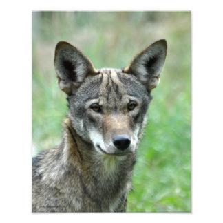 11X14 de rode Jongere van de Wolf Fotoafdrukken
