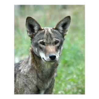 16X20 onrijpe Rode Wolf Foto Afdruk