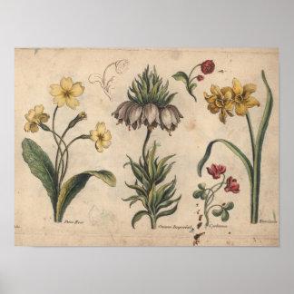 1757 de botanische Druk PrimeRose van de Kunst van Poster