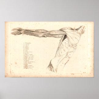 1833 spieren van Druk van de Anatomie van het Poster
