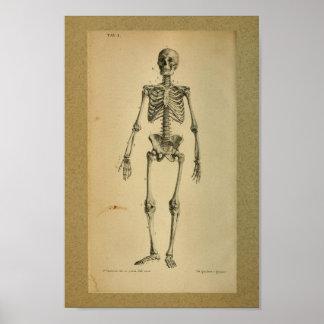 1850 het vintage Skelet van de Druk van de Poster