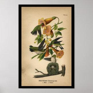 1890 de Druk van de vogel robijnrood-Throated Poster
