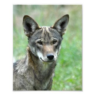 8X10 de rode Jongere van de Wolf Fotoafdrukken