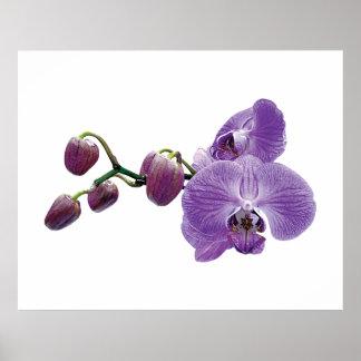 AANVANG ONDER $20 - Paarse Orchidee met Knoppen Poster