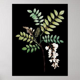 Acacia, zwarte plaats, muur botanische druk poster
