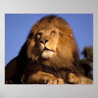 Afrika, Kenia, Masai Mara. Mannelijke leeuw (Panth Poster