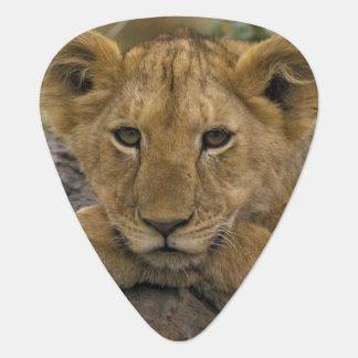 Afrika, Kenia. Portret van een leeuw Plectrum