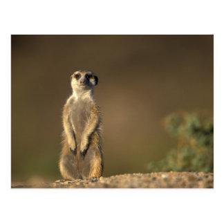 Afrika, Namibië, Keetmanshoop, Meerkat (Suricate Briefkaart