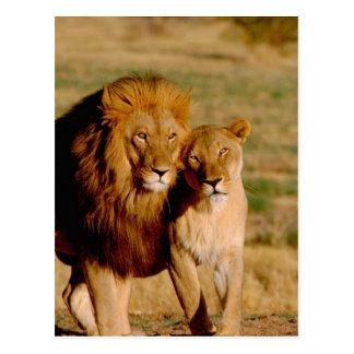 Afrika, Namibië, Okonjima. Leeuw & leeuwin Briefkaart