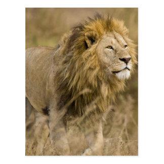 Afrika. Tanzania. Mannelijke Leeuw in Ngorongoro Briefkaart