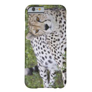 Afrika. Tanzania. Vrouwelijke Jachtluipaard in Barely There iPhone 6 Hoesje