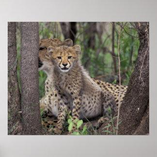 Afrika, Zuid-Afrika, Domein Phinda. Jachtluipaard Poster