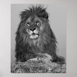 Afrikaanse Leeuw die op rotsklip rusten Poster