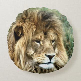 Afrikaanse leeuw om hoofdkussen rond kussen