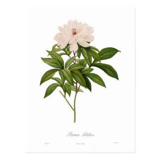 Albiflora van Peonia Briefkaart