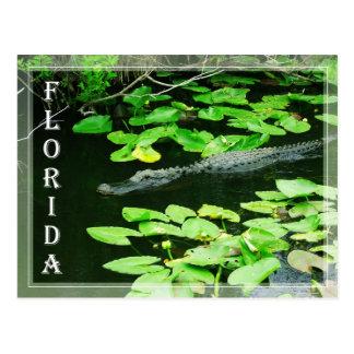 Alligator in het Everglades Nationale Park, Briefkaart