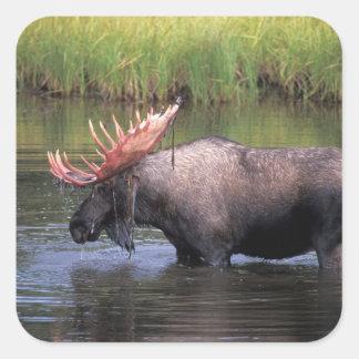 Amerikaanse elanden, stier in een ketelvijver en vierkante sticker