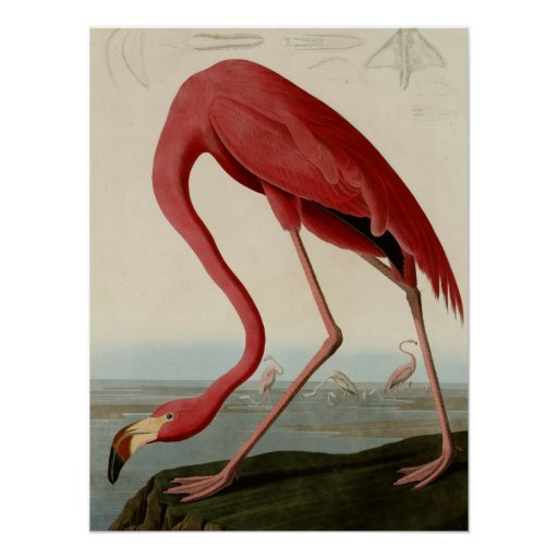 Amerikaanse Flamingo