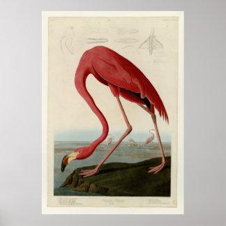 Amerikaanse Flamingo Poster