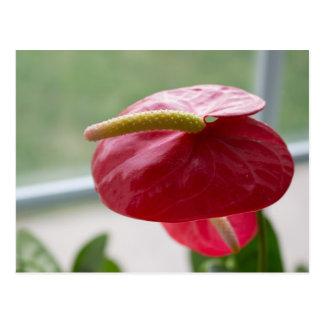 Anthurium, groen rood, bloei, fotografie briefkaart