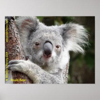 Australische Koala Poster