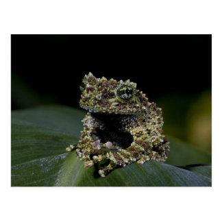 Bemoste Treefrog, Theloderma corticale, Inwoner 2 Briefkaart