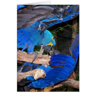 Blauwe arapapegaaien die fotoafbeelding bestrijden kaart