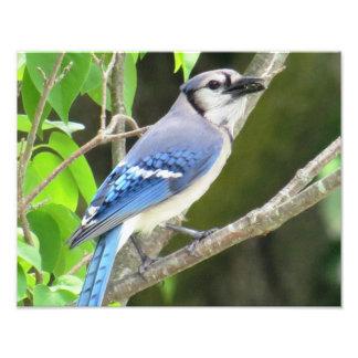 Blauwe Vlaamse gaai Foto Afdruk