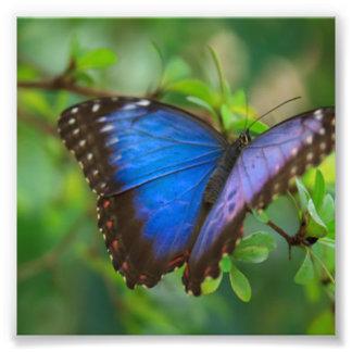 Blauwe Vlinder Foto Afdruk