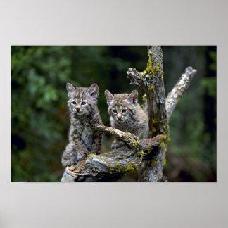 Bobcats-zomer-jonge katjes poster