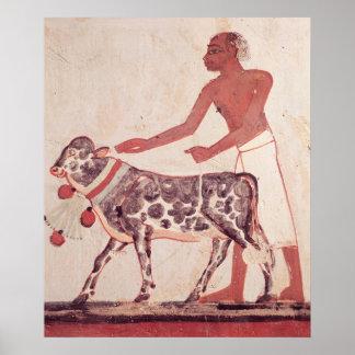 Boer die een koe ertoe brengen om te offeren poster