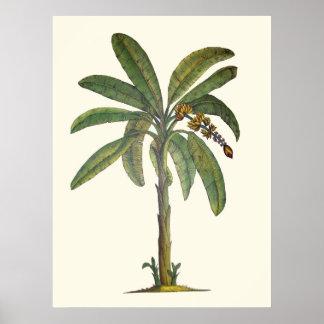 Botanische de Boom van de banaan Poster