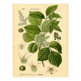 Botanische Druk - Gifsumak (Toxicodendron) Briefkaart