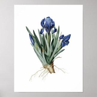 Botanische druk van IRISSEN origineel door Redoute Poster