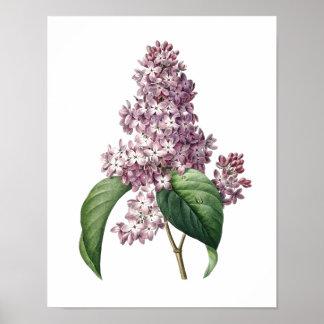 Botanische druk van LILA origineel door Redoute Poster