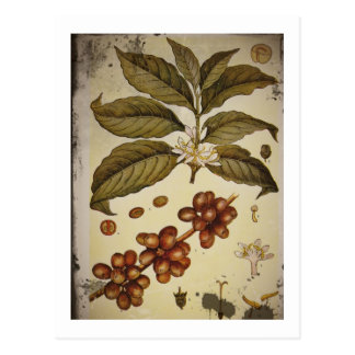 Botanische Tekening van het Plant van de Koffie Briefkaart