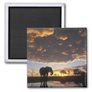 Botswana, Chobe Nationaal Park, Olifant Vierkante Magneet