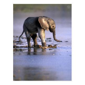 Botswana, de Reserve van het Spel Moremi, Jonge Briefkaart