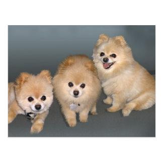 Briefkaart drie Pomeranians