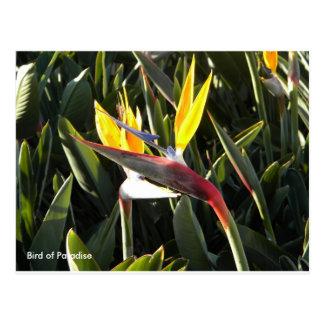 Briefkaart, Paradijsvogel Briefkaart