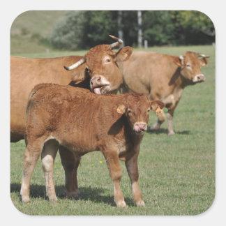 Bruine koe die haar kalf wassen vierkante sticker