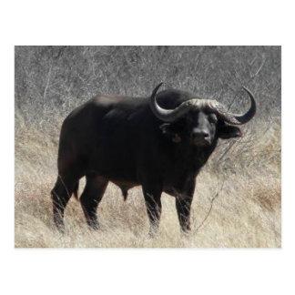 Buffels in Zuid-Afrika Briefkaart