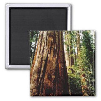 Californische sequoia's Yosemite Magneet