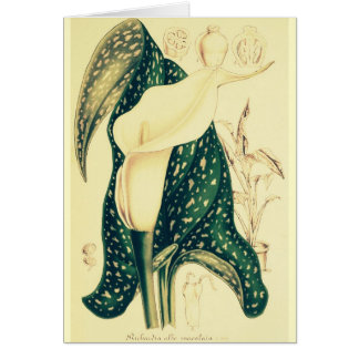 Calla van de room Lelie Briefkaarten 0