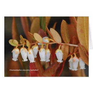 Calyculata van Chamaedaphne, leatherleaf Kaart