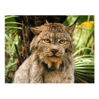 Canadese Lynx 4200e Briefkaart