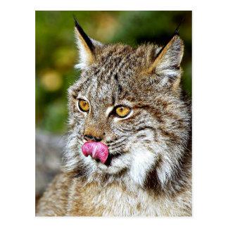 Canadese Lynx die - Zijn Karbonades likken Briefkaart