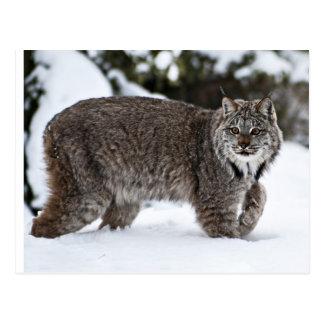 Canadese Lynx in de Sneeuw Briefkaart