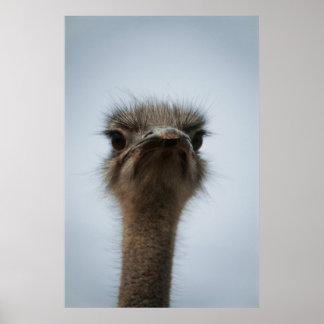 Centraal Zuid-Afrika, Afrikaanse Struisvogel, Poster